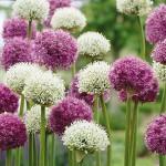allium-bloembol-van-het-jaar