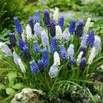Blauwe bloembollen