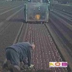 Bollen planten machinaal+
