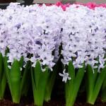 Hortus hyacint