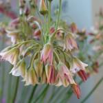 Nectaroscordum siculum 'spp Bulgaricum'