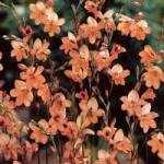 Tritionia Laxa