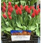 Tulp Van der Laan