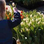 Tulpen Noordoostpolder naar Utrecht
