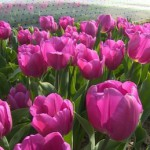 Zeeuwse tulpen