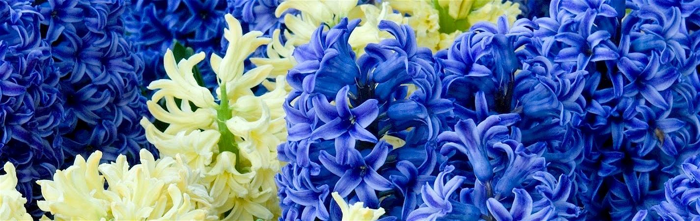 hyacith