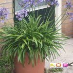 Agapanthus blauw op pot+