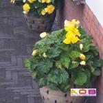 Begonia geel 2 op pot 2+