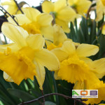 Narcissus 'Standard Value'
