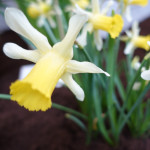 Narcissus pseudonarcissus