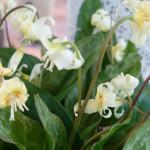 Erythronium 'White Beauty'