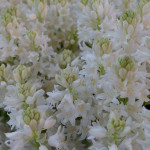 Hyacinthoides hispania 'White City'