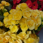 Begonia geel