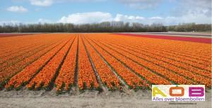 Veld tulpen rood