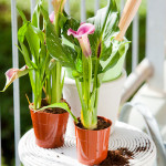 calla in pot