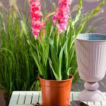 gladiool in pot