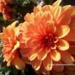Dahlia oranje close up
