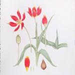 Diana-Everett-Tulipa-suaveolens-Duc-van-Tol