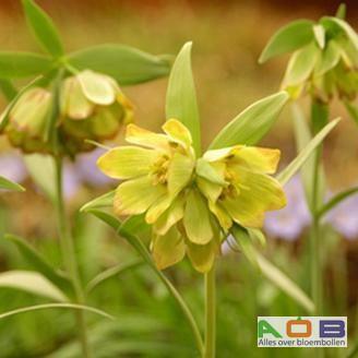 Fritillaria pontica