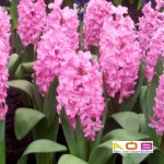 Hyacint roze