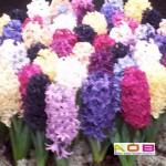 Hyacinten diverse kleuren in pot