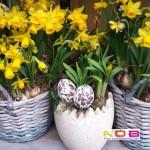 Narcis in potten
