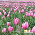 Tulpen rose close up