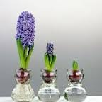 hyacint op glas