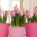 hyacint op pot
