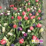 tulpen en hyacinten in border