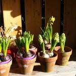 Hyacint, heerlijk geurend de pot op