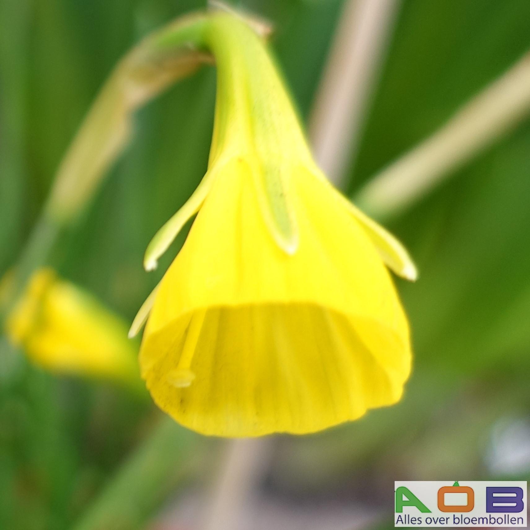 Narcissus 'Golden Bells'