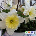 Narcissus 'Ice Follies'