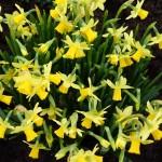 Narcissus Tête-a-Tête