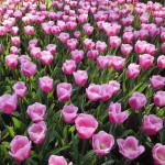 Tulipa 'Aafke'