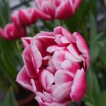 Tulipa 'Columbus'
