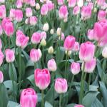 Tulipa 'Dreamland'