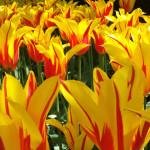 Tulipa 'Fire Wings'