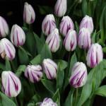 Tulipa 'Flaming Flag'