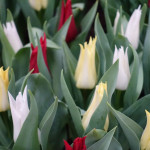 Tulipa 'Trés Chic' mix
