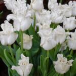Tulipa 'White Liberstar'