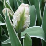 Tulipa 'New Design'