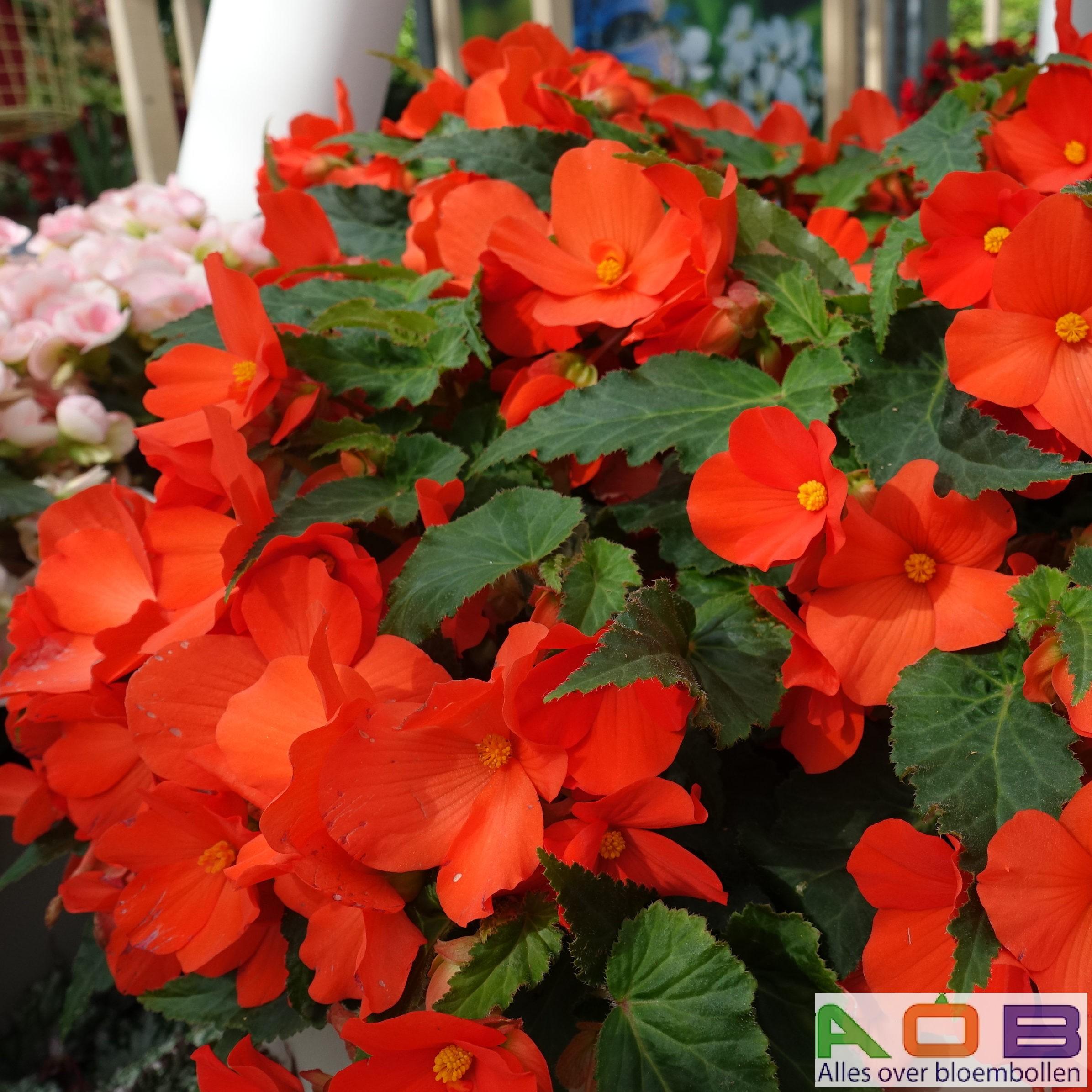 Begonia rood