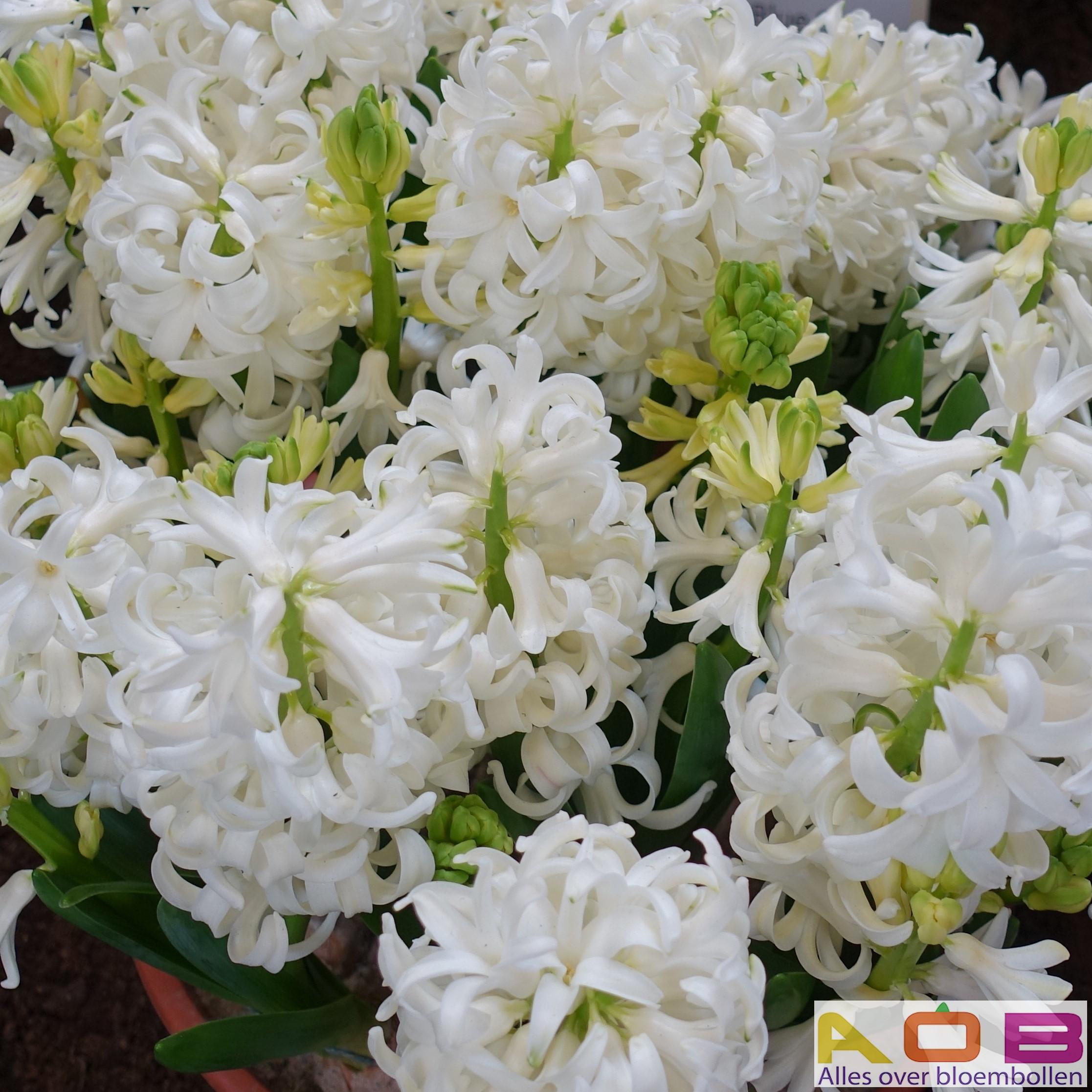 Hyacint multiflora 'White Pearl'