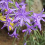 Ixiolirion tataricum Picture C T Johansson