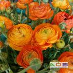 Ranunculus asiaticus 'Orange'