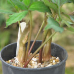 Sauromatum horsfieldii Picture peganum
