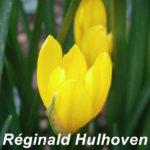 Sternbergia lutea