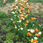 Witte, oranje en gele tulpen