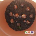 Lasagnelaag 1 Tulipa 'Queen of Night'